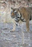 bengal piękny tygrys Fotografia Stock