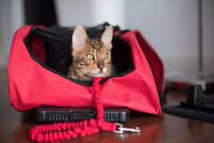 Bengal with red bag and leash Stock Images