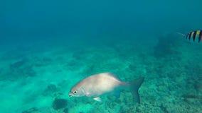 Bengal sergent Skrzyknący sierżant w morskim akwarium Abudefduf bengalensis jest stosunkowo rozlewny w Indo zbiory