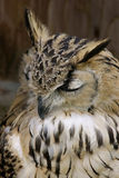 bengal orła sowa Obraz Stock