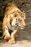 Bengal-Tiger 1 Lizenzfreies Stockfoto