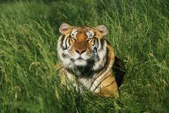 Free Bengal Tiger Royalty Free Stock Images - 1105449