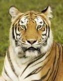 Bengal Tiger. Close-up of a Bengal Tiger royalty free stock photo