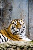 Bengal-Tiger Lizenzfreies Stockfoto