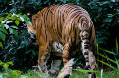 bengal tiger Royaltyfri Bild