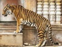 Free Bengal Tiger Stock Image - 13476001