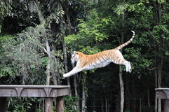 Bengal tiger. Jumping for a chicken treat in dreamworld australia Royalty Free Stock Image