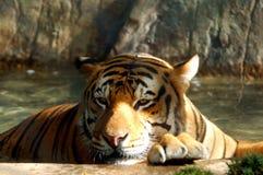 bengal tiger royaltyfri foto