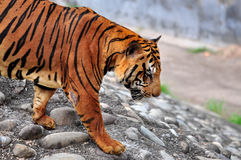 Bengal tiger. A Bengal tiger walking on stone rooks Stock Photo