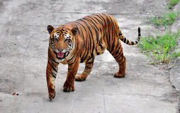 Bengal tiger. A Bengal tiger in attacking mood Royalty Free Stock Photography