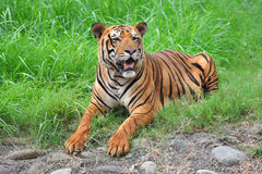 Bengal tiger. A Bengal tiger setting on green grass Stock Images