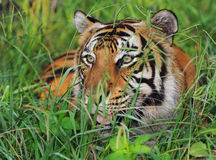 Bengal-Tiger Stockbilder