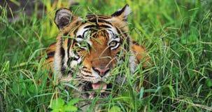 Bengal Tiger Stock Photography