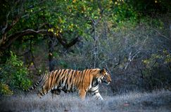 Bengal tiger. A huge male tiger walking in the jungles of Bandhavgarh National Park, India stock photography