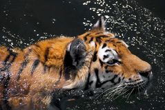 Bengal Tiger. Water wildlife animal Stock Photography