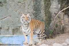 Bengal Tiger . Royalty Free Stock Image