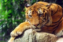 bengal tiger Royaltyfri Fotografi