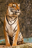 Bengal Tiger. A Bengal tiger in zoo royalty free stock image