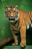 Bengal-Tiger Stockfotografie