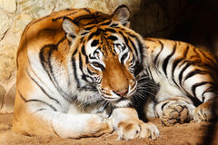 Bengal tiger Royalty Free Stock Photo