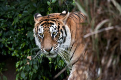 Bengal tiger. With vegetation, logs and rocks Royalty Free Stock Image