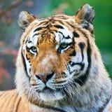 Bengal-Tiger Lizenzfreie Stockfotografie
