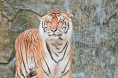 Bengal Tiger. Close up of Bengal Tiger Royalty Free Stock Photography