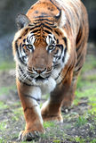 Bengal Tiger. Male Bengal Tiger prowling in the winter sunshine Royalty Free Stock Image