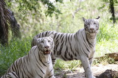 Bengal tiger. White bengal tigers looking at the camera Stock Photos