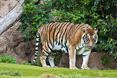 Bengal tiger. Portrait of a big bengal tiger standing on green grass Stock Photos