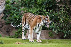 Bengal-Tiger Stockfotos