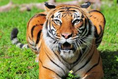 Bengal tiger. Female Asian tiger, with her mouth open, sitting on the ground of a South Florida zoo Royalty Free Stock Images