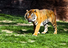 Bengal tiger. In a theme park Stock Photography