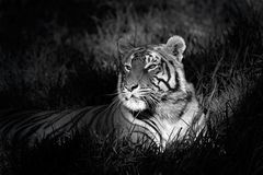 Bengal tiger. Monochrome image of a bengal tiger (Panthera tigris bengalensis) laying in grass Stock Photography