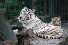bengal tiger Arkivbild
