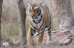 Bengal Tiger. Walking through forest Stock Images