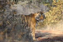 Bengal Tiger. Standing in forest Royalty Free Stock Photography