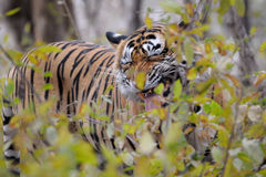 Bengal Tiger. Flaming standing between bushes Stock Image