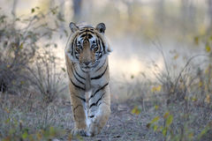 Bengal Tiger. Walking  in woodland towards camera Royalty Free Stock Photography