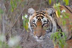 Bengal Tiger. Walking  in woodland towards camera Stock Photos