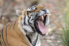 Bengal Tiger. Yawning showing teeth Stock Photography