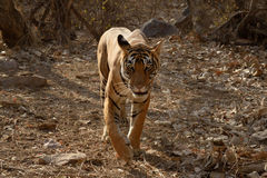 Bengal Tiger. Walking in dry forest Royalty Free Stock Photos