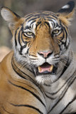 Bengal Tiger Stock Photo