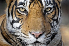 Bengal Tiger. Portrait of a Bengal Tiger Royalty Free Stock Photo