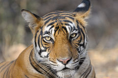 Bengal Tiger. Portrait of a Bengal Tiger Stock Photo
