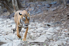 Bengal Tiger. Walking in river bed Royalty Free Stock Photos