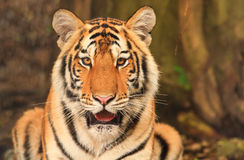 Bengal tiger. Royalty Free Stock Photo