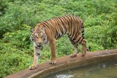Bengal-Tiger Lizenzfreies Stockbild