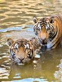 Bengal tiger arkivfoto