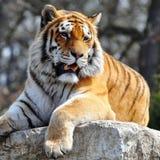 Bengal tiger Arkivbilder